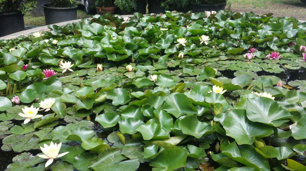 vasca ninfee orto botanico